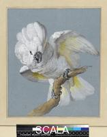 Schouman, Aert (1710-1792) A Great White-Crested cockatoo. 18th Century.