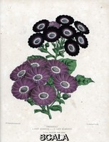 ******** Cineraires hybrides: de couleur pourpre variete Lady kilmorey et noire et pourpre variete John Standish. Lithographie de Worthington G.Smith (1835-1917), publiee in Floral Magazine, 1872, edite par Henry Honywood Dombrain (1818-1905).  Cineraria hybrids. Purple Lady Kilmorey variety, black and purple John Standish. Handcolored botanical drawn and lithographed Worthington G. Smith (1835-1917), architect, engraver and mycologist, from 'Floral Magazine' 1872, by Henry Honywood Dombrain (1818-1905), clergyman gardener, and was editor of the 'Floral Magazine' from 1862 to 1873.