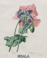 ******** By Langlois. After Pierre Joseph Redout. Poppy / Pavot Pavot (Opium Poppy, Papaver Somniferum) ( from Redout,