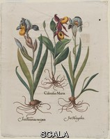 ******** By Unidentified artist, German, 17th century. Possibly after Basil Besler. I. Lady's Slipper. II. Blue Variegated Bearded Iris. III. Dark Variegated Bearded Iris. (I. Calceolus Mariae. II. Iris Portugalica. III. Iris Pannonica Variegata). Plate 6 from B. Besler,
