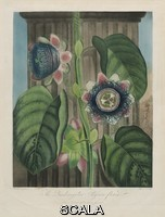 ******** After Peter Charles Henderson. By William Hopwood. Publisher Robert John Thornton. The Quadrangular Passion Flower (Plate 19 from Dr. R. J. Thornton,